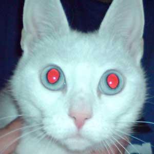 Un gatto preso in pieno dal flash della macchina fotografica. Ha gli occhi rossi.